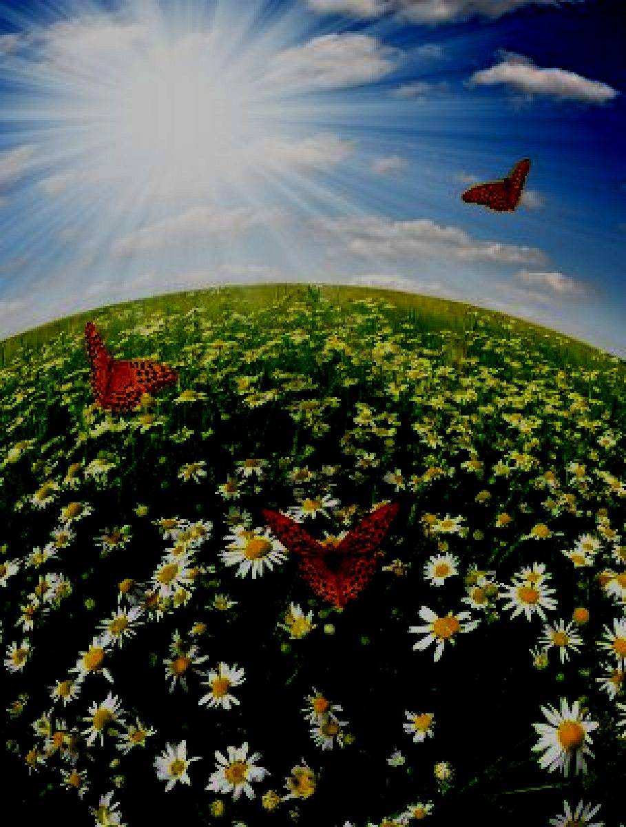 daisies-with-butterflies-fisheye-shot